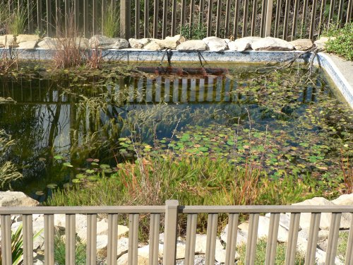 Turning pools into ponds altmedia for Pond to swimming pool conversions