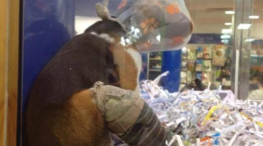 The injured beagle puppy in a Queensland Westfield pet store. Source: Facebook