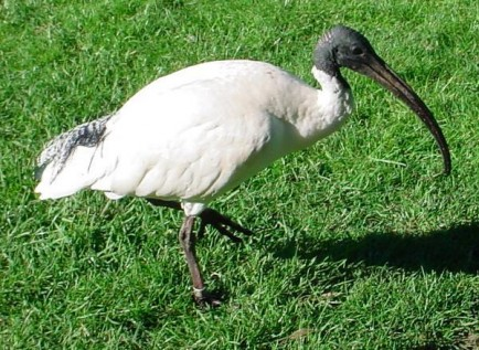 An Australian White Ibis. Source: Wikicommons